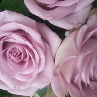 Roza kolor lila