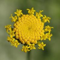 słoneczko santoliny
