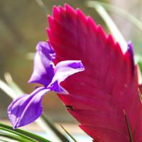 Tillandsia cyanea, kwiat i pąk :-)