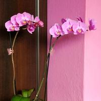 Mój różowy storczyk :-)