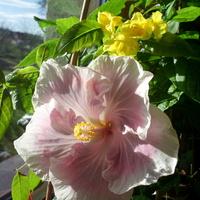 Tahitian Pink Princess i Tecoma Stans