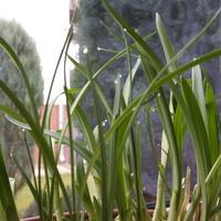Gutacja czyli płacz roślin