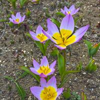 Tulipany..
