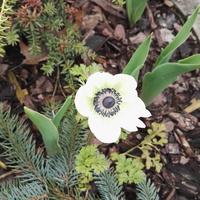 anemone białe