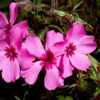floksy na różowo