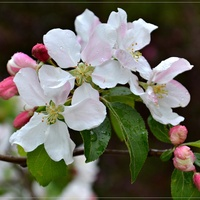 Kwiat jabłoni....
