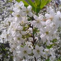 Kwiecie wiśni