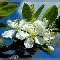 Kwitną jabłonie:)