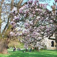 Magnolie w parku w Łańcucie