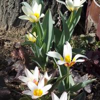 pierwsze tulipanki :)