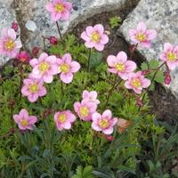 różowe wiatraczki