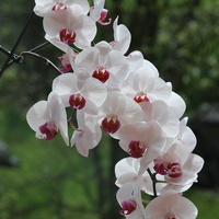 Storczyk -  zakwitł wieloma kwiatami :)