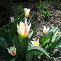 tulipan też już cieszy