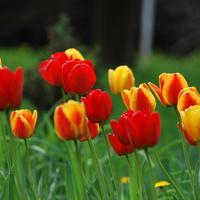 Tulipany, tulipany
