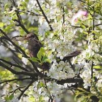 Wśród kwiatów kwitnącego drzewa...