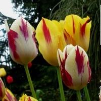 Tulipany ....