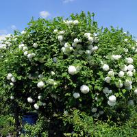 białe pompony