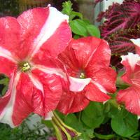 biało- czerwone  wiatraczki