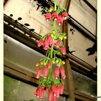 Cryptanthus Bromeliacydes Tricolor z Ogr. Bot.