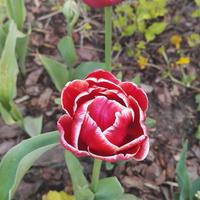 Czerwono biały tulipan