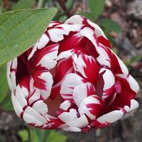 Dwukolorowy tulipan