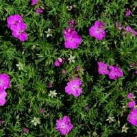 Geranium sanquineum