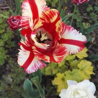 Kolejne tulipanowe pozdrowienia