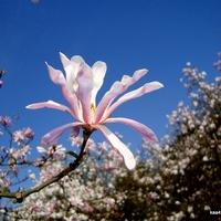Magnolia Stellata z Ogr. Bot. Powsin.