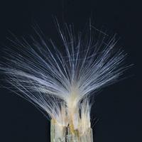 Nasionko oleandra.