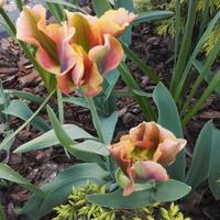 Pozdrowienia tulipanowe