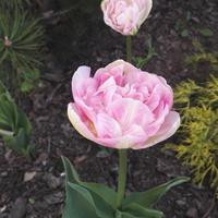 Różowo białe tulipany