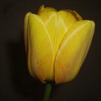 tulipan nocą