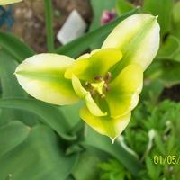 tulipan;;;