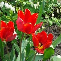 tulipanki w rozkwicie;-)