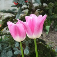 Tulipanów czar ...