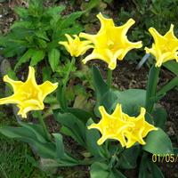 tulipany--