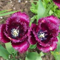 tulipany==