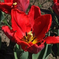 Tulipany...