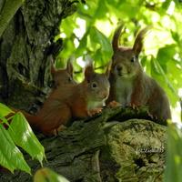 Wiewiórki, leśne gryzonie
