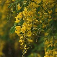 Złotokap pospolity- złoty deszcz kwiatów