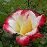 Biało-czerwoni w wiekszości