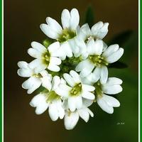 Biały kwiat dla ochłody