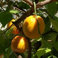 Gorzkie pomarańcze