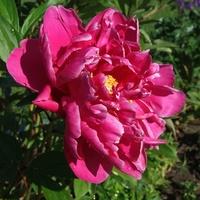 Królowa wiosennego ogrodu
