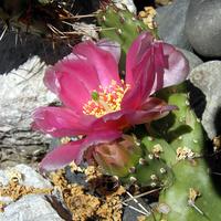 kwitną kaktusy