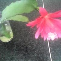 Kwitnie choć stoi w szklance.