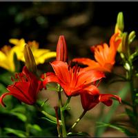 Lilie: czerwone, pomarańczowe i żółte.