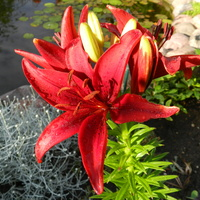 Lilie w moim ogrodzie