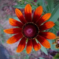 Mocno opalony kwiatek.
