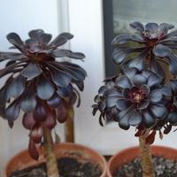 Moje Aeonium black nabrało koloru na słonku
